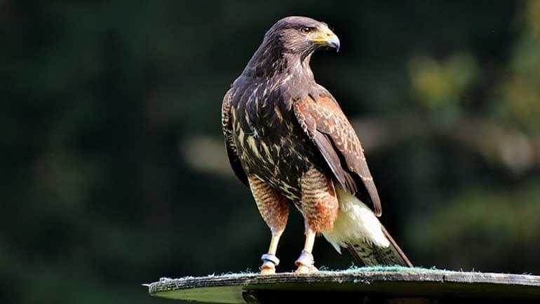 Falke Aktivität